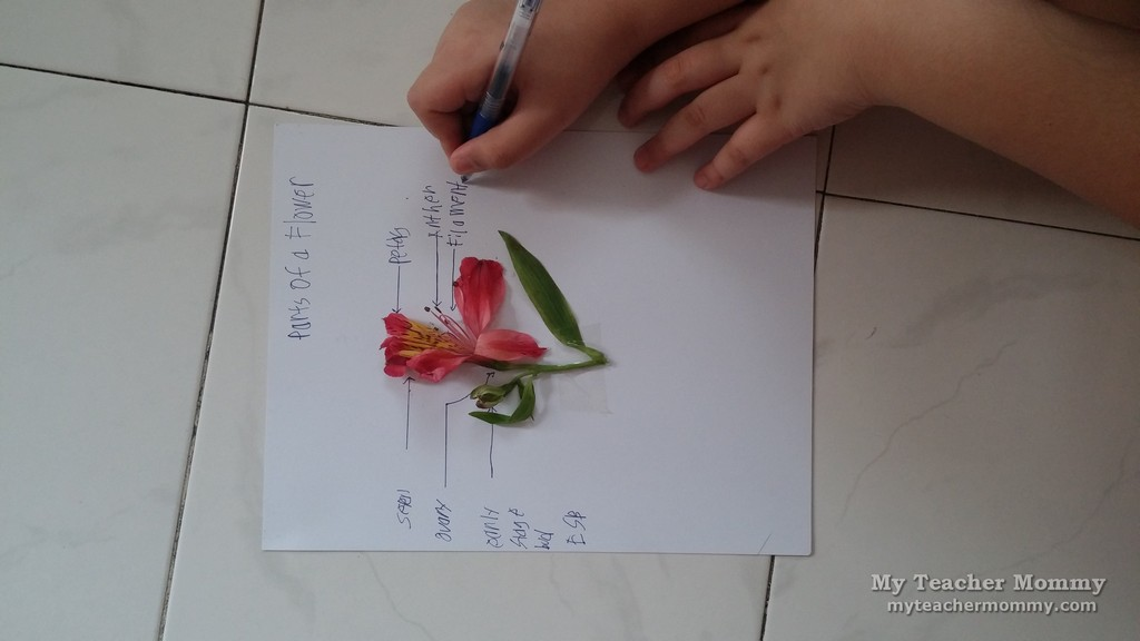 Parts Of A Flower A Homeschool Science Activity My Teacher Mommy